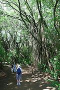 Banyan trees, Ptcairn Island<br />