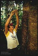 02: RUBBER TAPPERS SCORING, TAPPING