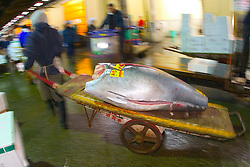 raw bluefin tuna, Thunnus sp., on cart, being transported to intermediate buyer's wholesale shop to be filleted immediately after auction, Tsukiji Fish Market or Tokyo Metropolitan Central Wholesale Market, the world's largest fish market, hadling over 2, 500 tons and over 400 different kind of fresh sea food per day