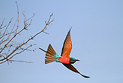 southern carmine bee-eaters in flight. The southern carmine bee-eater (Merops nubicoides) (formerly carmine bee-eater) occurs across sub-equatorial Africa. Photographed in Namibia, Africa