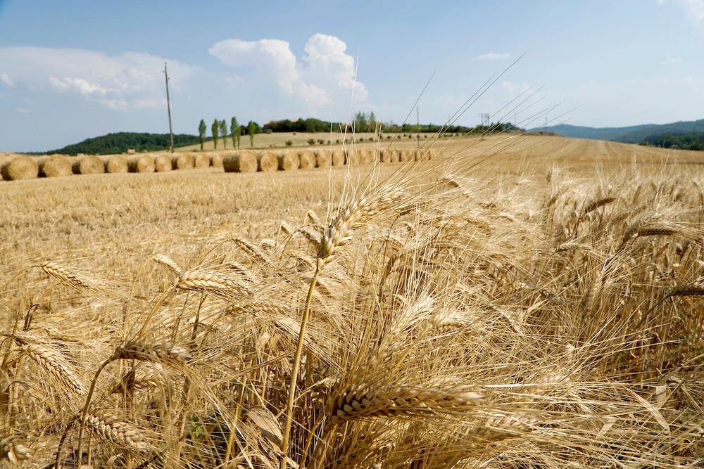 close up of golden ripe wheat stalks with bales of straw in the background