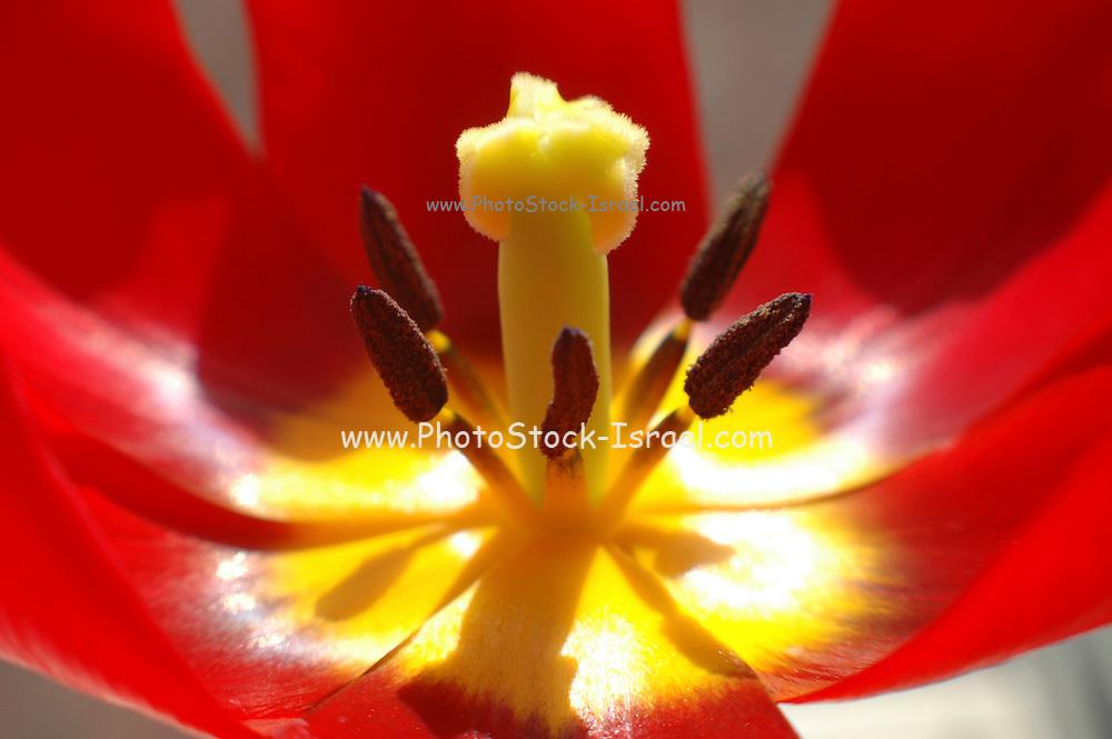 Israel, close up of a Sharon tulip Tulipa sharonensis Dinsm, in nature