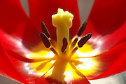 Israel, close up of a Sharon tulip Tulipa sharonensis Dinsm, in nature