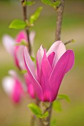 Flores de Magnólias desabrochando no início da primavera. A Magnólia é uma flor proveniente de plantas do gênero Magnolia L., família Magnoliaceae. As magnólias são árvores, arbustos ou arvoretas semi-descíduas ou descíduas, apreciados como ornamentais em jardins, principalmente em locais de clima temperado ou subtropical. Produzem abundantes flores brancas ou rosadas, grandes e perfumadas. FOTO: Jefferson Bernardes/Preview.com