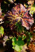 A counoise leaf.  Chateau de Beaucastel, Domaines Perrin, Courthézon Courthezon Vaucluse France Europe