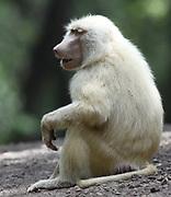 An albino female olive baboon (Papio anubis) sits beside a track. Arusha National Park. Arusha, Tanzania.