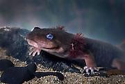 A Pacific Giant Salamander (Dicamptodon ensatus) neotonic aquatic juvenile. captive, Oregon