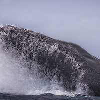 A humpback whale forcefully surfaces during an active round with a competitive group in the Silver Bank off the coast of the Dominican Republic