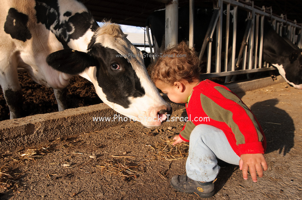 Excited three year baby boy feeds a cow on a dairy farm. Model release available. Photographed in Israel, Kibbutz Maagan Michael