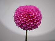 A bright pink pom pom dahlia on show at the annual Harrogate Autumn flower show on 16th September 2016 in North Yorkshire, United Kingdom.