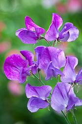 Lathyrus odoratus Mauve - Sweet pea