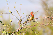 Red and Yellow Barbet (Trachyphonus erythrocephalus). Photographed in Tanzania