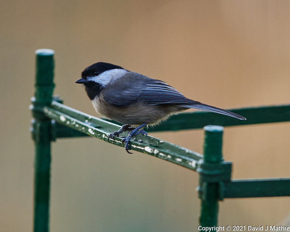 Black-capped Chickadee. Image taken with a Nikon D850 camera and 400 mm f/2.8 lens.