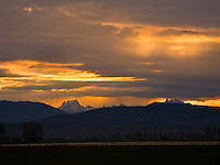 A large flock of snow geese rest on the ground as morning light streams through clouds silhouetting Whitehorse Mountain in the Cascade Range as seen from Fir Island in the Skagit River Delta, WA, USA, snowgeese, snowgoose, birds in flight, aves, snow geese, snow goose