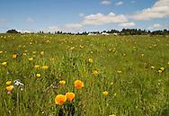Wild poppies near UCSC, Santa Cruz, California