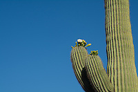 Iconic symbol of the Sonoran Desert and the American Southwest - and the state flower of Arizona, this saguaro cactus is in full bloom in Southern Arizona near the Mexican border below the Puerto Blanco Mountains.