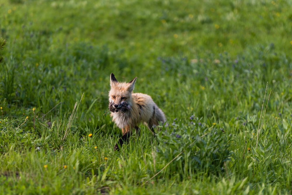 A red fox seems to be proudly carrying its prey in the Hayden Valley of Yellowstone National Park