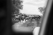 Wildebeest  crossing in front of a 4x4 safari vehicle, Serengeti National Park, Tanzania.