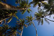 Isla Margarita_VEN, Venezuela...Coqueiros no Balneario de Isla Margarita, Venezuela.  ..Coconut-trees at  Resort of Isla Margarita, Venezuela. ..Foto: JOAO MARCOS ROSA / NITRO