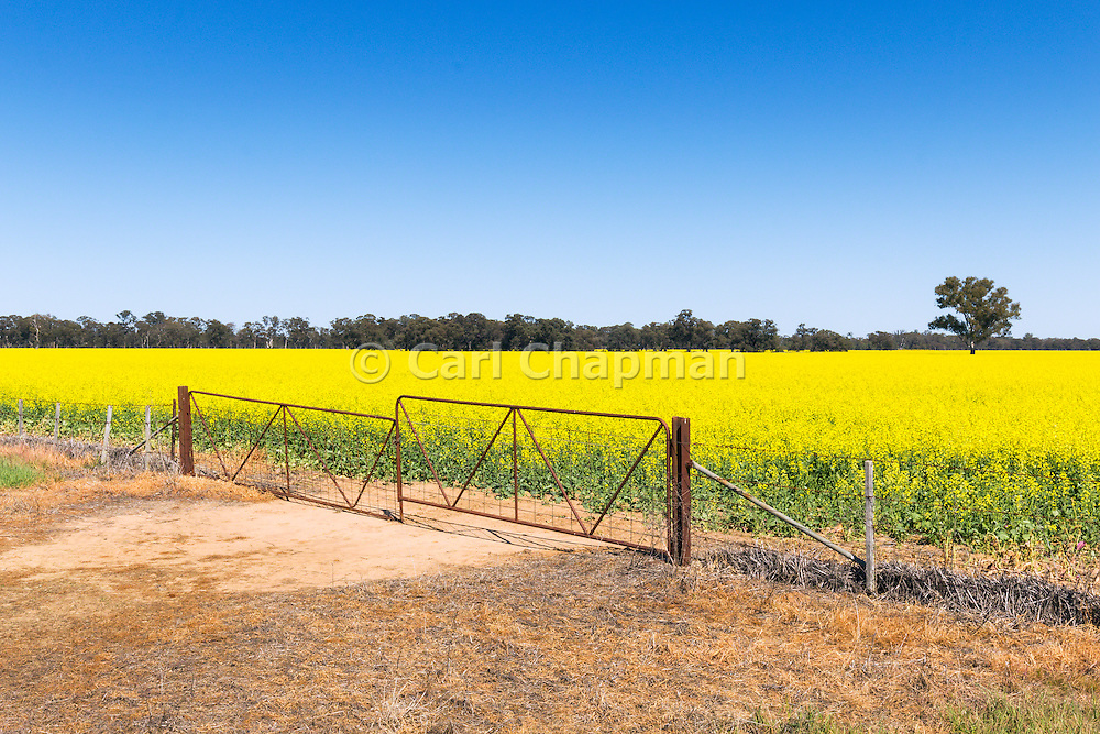 rusted steel gates and fence in field of canola near Katunga, Victoria Australia <br /> <br /> Editions:- Open Edition Print / Stock Image