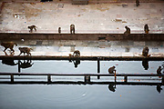 Monkeys feeding and bathing at the pool of the Surya Mandir (known as the Monkey Temple), Jaipur, India