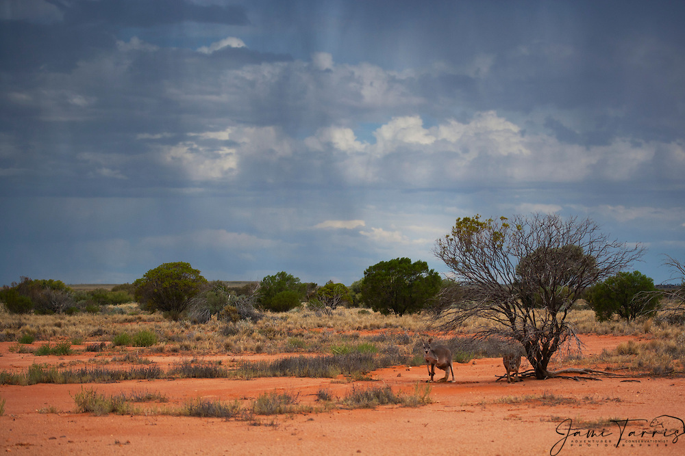 Red kangaroo  (Macropus rufus) sits under a tree on a gibber plain against a dramatic stormy sky at sunset,  Sturt Stony Desert,  Australia