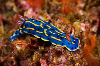 Dorid nudibranch, Hypselodoris festiva, a species of colorful nudibranch, a marine mollusk in the family Chromodorididae. It eats sponges, Sai Kung, Hong Kong, China. This nudibranch is found in Japan, Hong Kong, and also Korea. Image is a part of the mission Wild Sea Hong Kong (Wild Wonders of China).