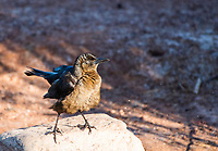A female Great-tailed Grackle, Quiscalus mexicanus, perches on a rock in Papago Park, part of the Phoenix Mountains Preserve near Phoenix, Arizona