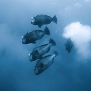 Bumphead parrotfish (Bolbometopon muricatum) spawning in the early morning, with low light and low visibility, due in part to the clouds of sperm and eggs from the fish. Photographed in Palau.