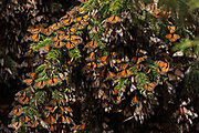 Monarch Butterflies mass packed in tightly for warmth on a tree in the forests of the El Capulin Monarch Butterfly Biosphere Reserve in Macheros, Mexico. Each year millions of Monarch butterflies mass migrate from the U.S. and Canada to the Oyamel fir forests in central Mexico.