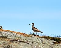 Whimbrel (Numenius phaeopus). Akureyri, Iceland. Image taken with a Nikon Df camera and 300 mm f/2.8 VR lens.