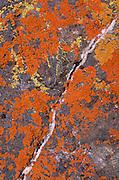 Orange and yellow lichen on rock with quartz vein, Santa Ynez Valley, California