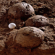 A dinosaur nest from France and a chicken egg.  The nest is owned by the Black Hills Institute in Hill City, South Dakota.