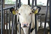 Nederland, Groesbeek, 10-9-2016Open boerderijdag bij een melkveebedrijf. Belangstellenden kunnen kijken in de stal bij de drachtige koeien, kalveren,kalfjes, kalven en stieren. Er kan melk en yoghurt geproefd worden . Foto: Flip Franssen
