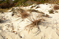 Beach grasses, Maryland end of Assateague Island National Seashore USA.