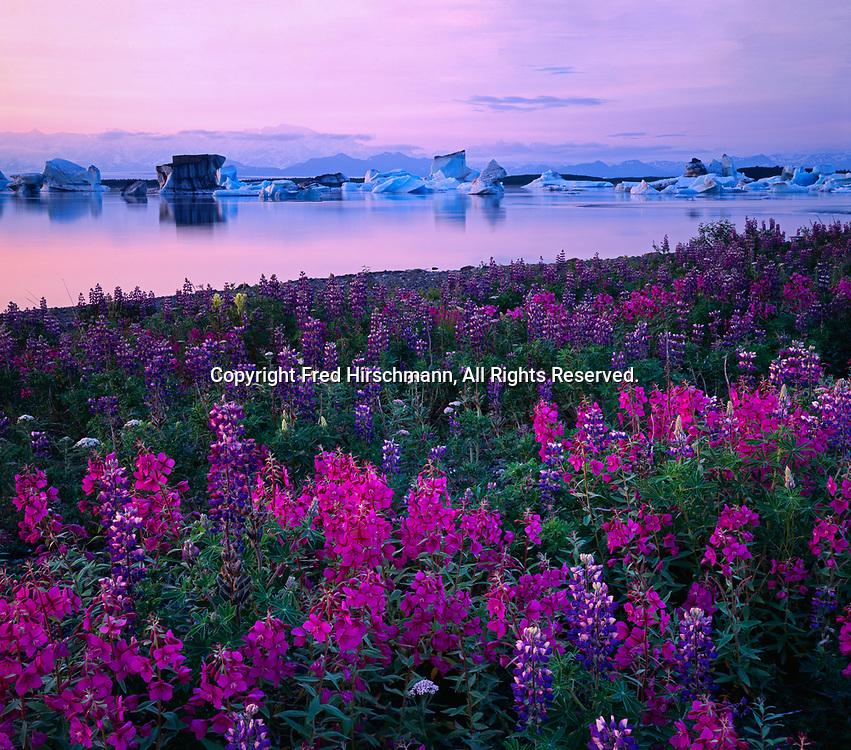Pastel light after sunset illuminating dwarf fireweed, Epilobium latifolium, and nootka lupine, Lupinus nootkatensis, and dozens of giant icebergs calved from the Bering Glacier, Lake Vitus, Alaska.