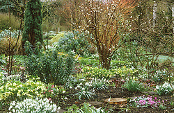 Early spring at Glen Chantry. Area known as 'Washfield Corner' packed with snowdrops and hellebores