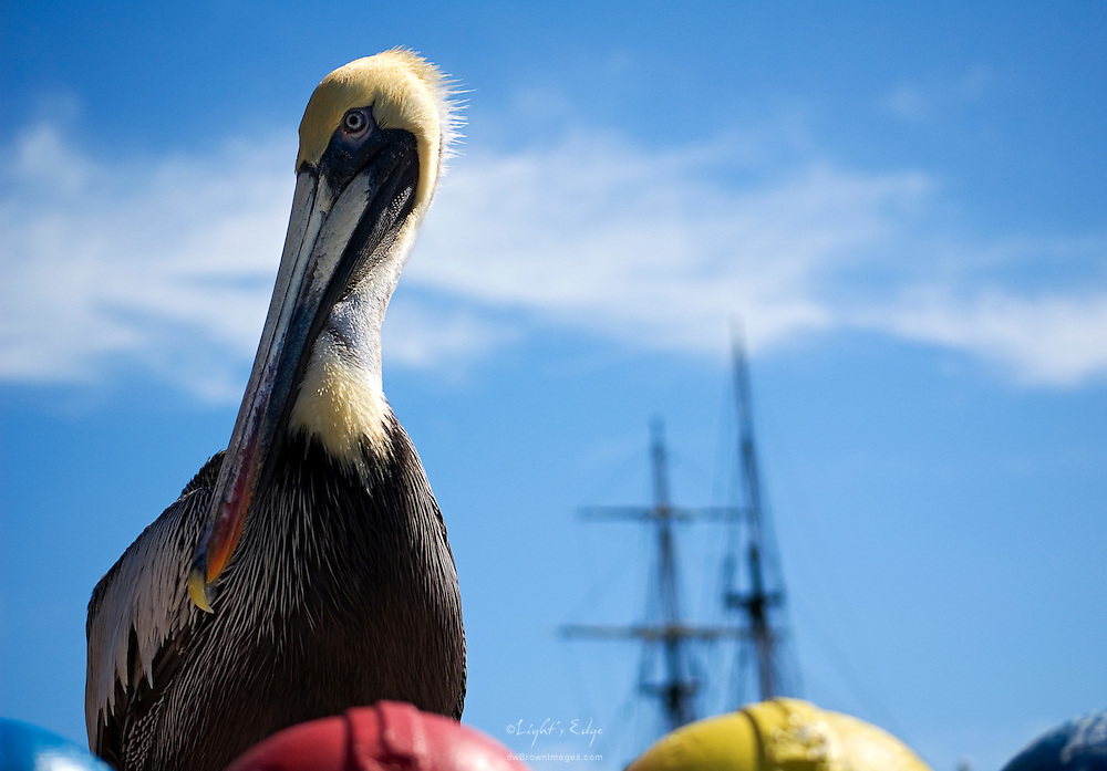"""A pelican patiently waits for the tourists to toss feed from a coin operated dispenser on a dock in St. Petersburg. It the background is a full scale replica of """"The Bounty""""."""