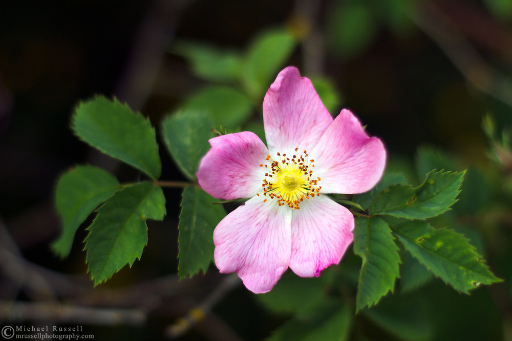 A Pink Wild Rose blooming in a backyard garden in the Fraser Valley of British Columbia, Canada