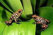 Poison dart frogs (Dendrobates sylvaticus)<br /> CAPTIVE<br /> Chocó Region of northwest Ecuador<br /> ECUADOR. South America