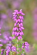 Bell Heather Erica cinerea