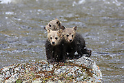 Three newborn grizzly bear cubs perch on a rock next to a river in Wyoming.