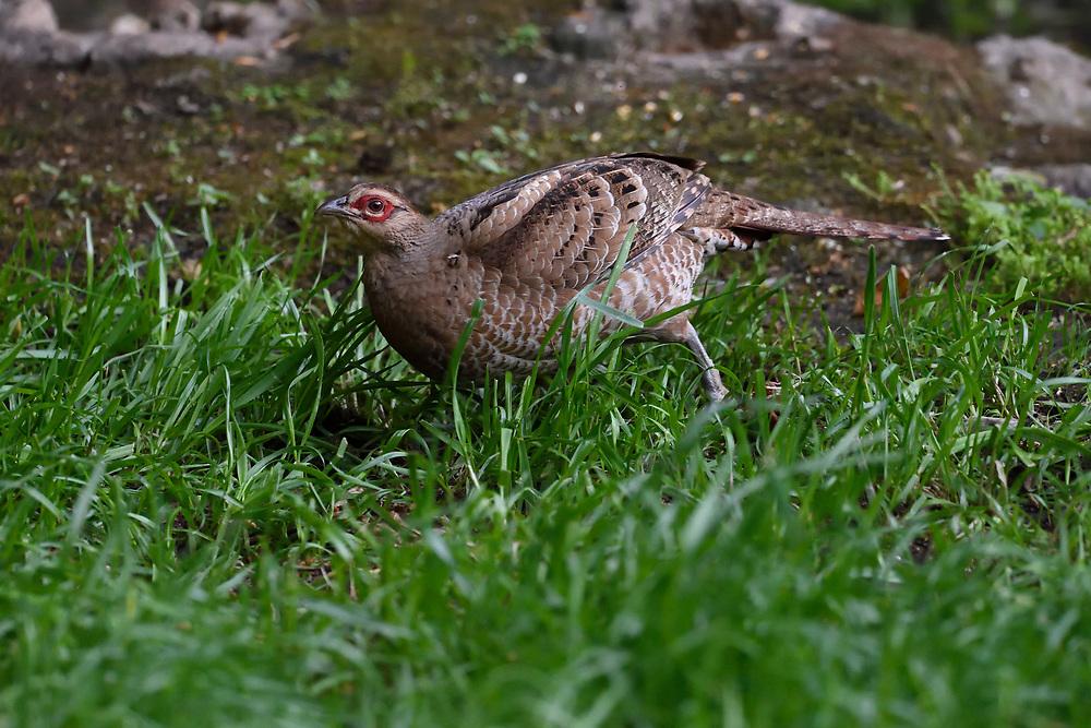 Mrs. Hume's pheasant, Syrmaticus humiae, female, Gaoligongshan Nature Reserve, Yunnan, China
