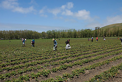 Phipps Ranch for pick your own berries and strawberries,  Pescadero, .San Mateo Coast of California, south of San Francisco.  Photo copyright Lee Foster, 510-549-2202, lee@fostertravel.com, www.fostertravel.com. Photo 469-31067