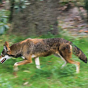 Red Wolf, (Canis rufus) Endangered Species. Southern United States.  Captive Animal.