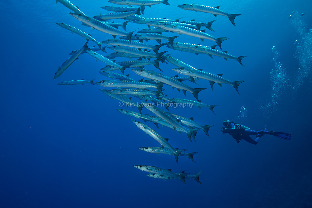 Barracuda a Diver in the Red Sea, Egypt.