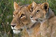 Portrait of a lioness, Panthera leo,  and her cub, Masai Mara, Kenya.
