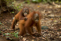 Lacking mothers, some of the orphan orangutans at IAR form bonds with eachother for comfort, and spend almost all their time together.<br />