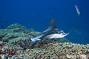 spotted eagle ray, Aetobatus narinari, being cleaned by bluestreak cleaner wrasses, Labroides dimidiatus, at Ice Cream bommie, Saipan, Commonwealth of Northern Mariana Islands, Micronesia ( Western Pacific Ocean )<br /> white on back may be scarring from mating attempts