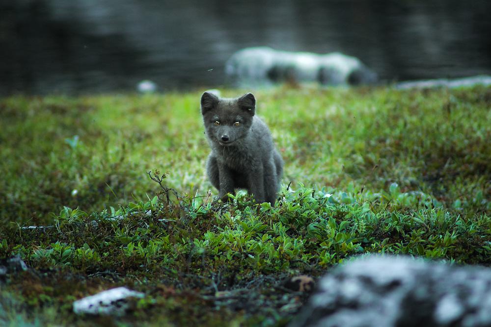 Arctic fox at Uummannaq Fjord, Greenland